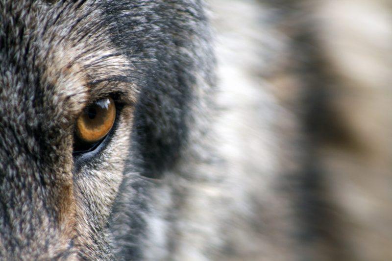 wolf-1352242